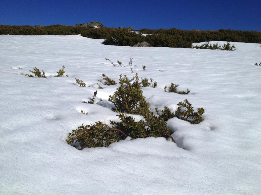 shrub snow poke